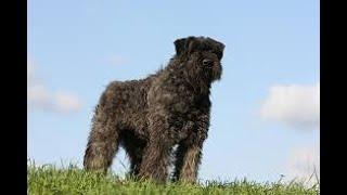 #48 BOUVIER DES FLANDRES  3/3  | Which Dog Should I Get? Dog Breed Selector