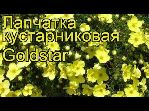 Лапчатка кустарниковая Голдстар. Краткий обзор, описание характеристик potentilla fruticosa Goldstar