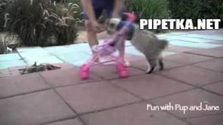 Киса выгуливает колясочку