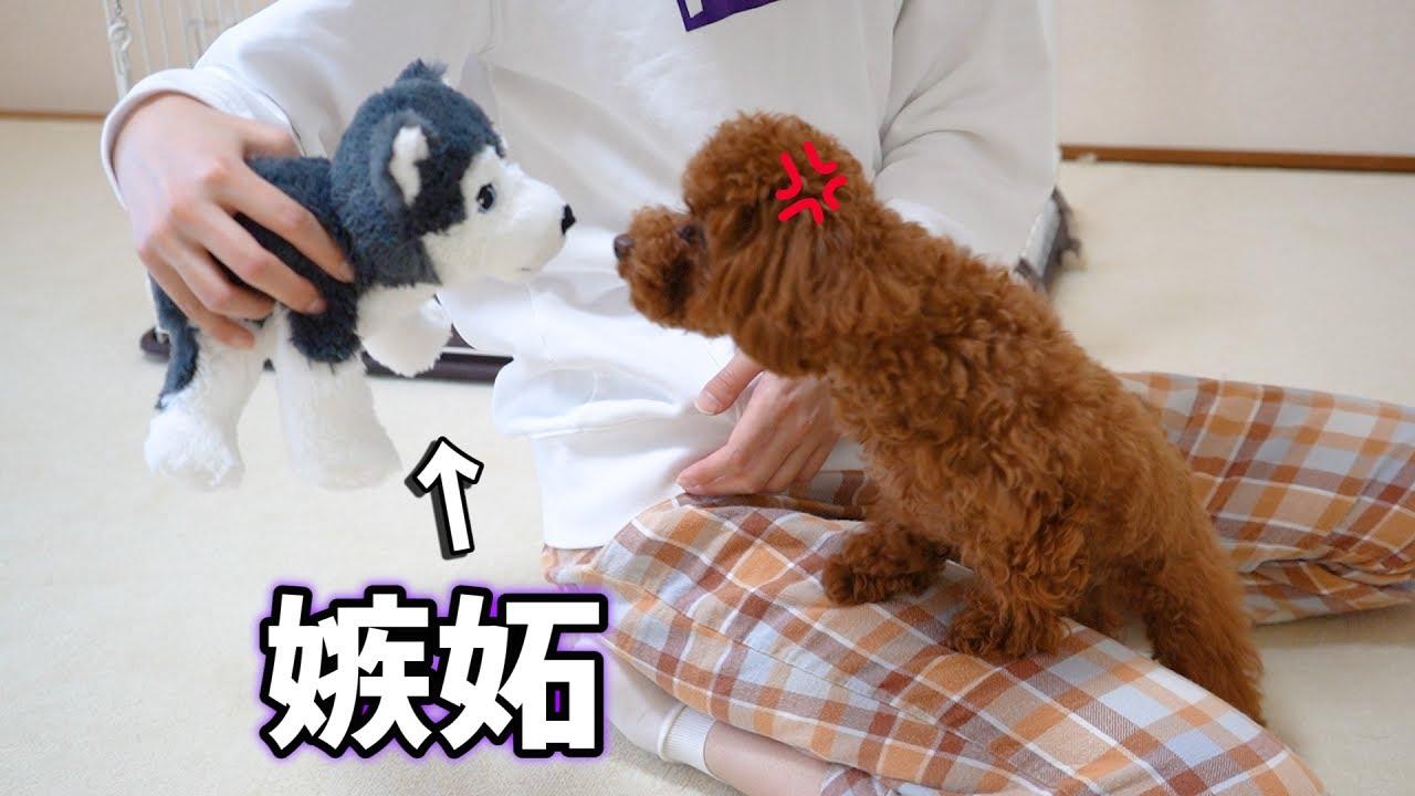 人形を可愛がってみたら、犬がめちゃくちゃ『嫉妬』してきてキュンキュンした【ティーカッププードル】【トイプードル】