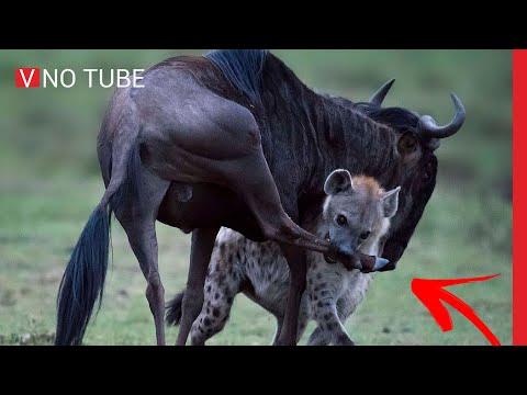 GNU ACHOU QUE PODIA VENCER HIENA - V NO TUBE