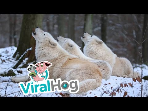 Arctic Wolfpack Howls (Part 1) || ViralHog