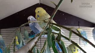 """♫ Учим попугая по имени Марк говорить, видеоурок 1: """"Марк красавчик"""""""