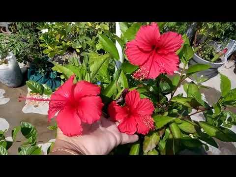 504 Beautiful Hibiscus Flowers सदर गडहल क