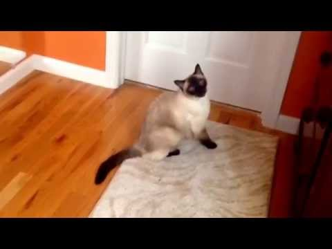 KoKo the chocolate point Siamese cat's bathroom adventures!