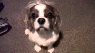 Winston after his haircut runs up the stairs 120202.mov thumbnail
