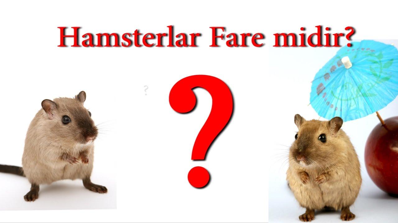 hamster fare