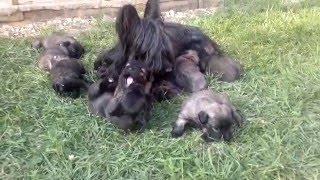 Skye Terrier puppies 2016/05/07 part III.