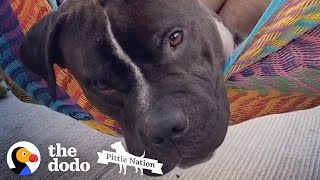 Whenever His Dad's In The Hammock, He Launches Himself In | The Dodo Pittie Nation