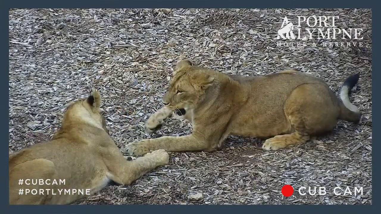Download Kulinda annoying her sister   Lioness sisters wrestling