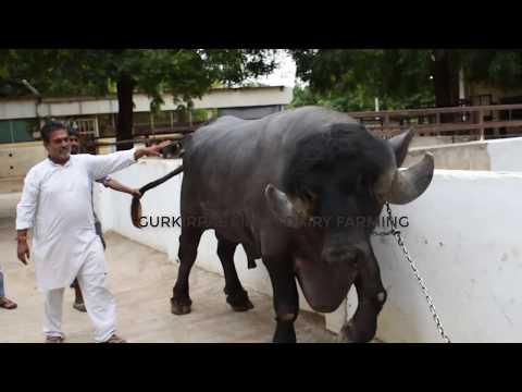 Gujarat Champion Jafarabadi bull at Sarangpur | 3 साल का इतना बड़ा झोटा
