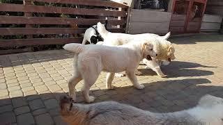 Щенячьи разговоры 🤣 щенки алабая ( купить щенка 😉😉) funny alabai puppies