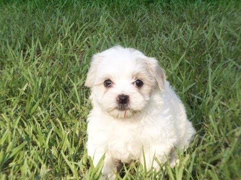Lhasa Apso, Puppies, Dogs, For Sale, In Jacksonville, Florida, FL, 19Breeders, Orlando, Cape Coral