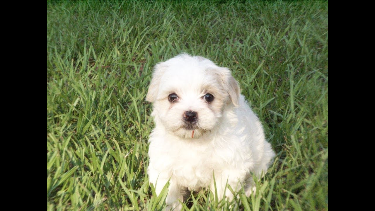 Lhasa Apso, Puppies, Dogs, For Sale, In Jacksonville ...