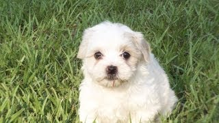 Lhasa Apso, Puppies For Sale, In, Richmond, Virginia, West, Va, Newport, County, Alexandria, 19breed