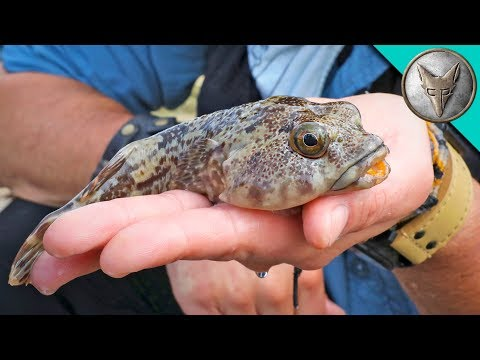 Bizarre TOADFISH!