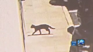Video Rabid cat aggressively chases, bites person in Chesapeake download MP3, 3GP, MP4, WEBM, AVI, FLV Januari 2018