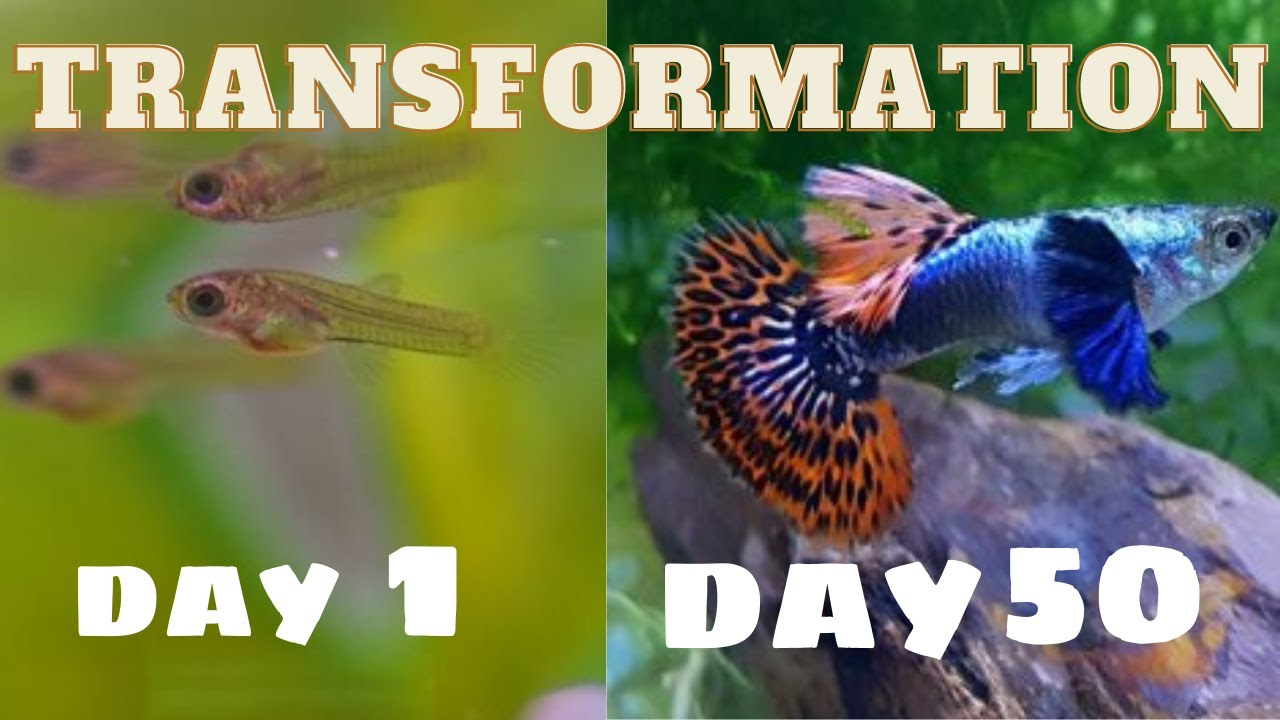 GUPPY GROWING UP FROM DAY 1 TO DAY 50