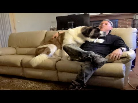 Night At The Home Movies - Needy Saint Bernard Dog Cuddles & Watches STAR WARS With Owner