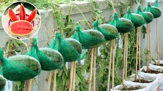 Удивительная идея Как вырастить арбуз в домашних условиях - легко для начинающих