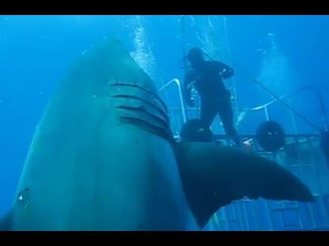 Deep blue (Female)..GREAT WHITE SHARK.. (World's Largest) so far !