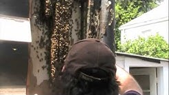 Old Algiers Bee Removal