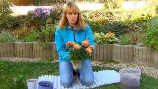 Смотреть видео хризантемы купила в горшке