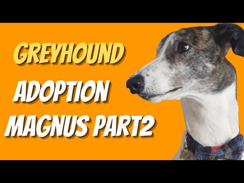 Greyhound adoption - Magnus part two