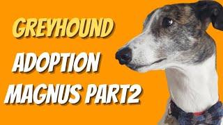 Greyhound adoption  Magnus part two