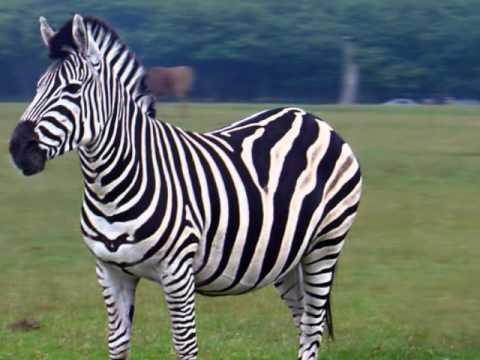 Zebra pictures – buzzpls.Com