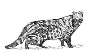 How to draw an African Civet