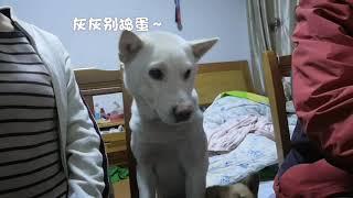 中华田园犬想出门了,就轮流在主人面前撒娇,太可爱了。发布中华田园犬...