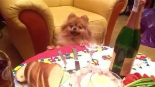 Шпиц, Чуча и хлеб