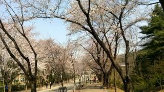 인천대공원 벚꽃만발& 공원 폐쇄 전 다녀오다