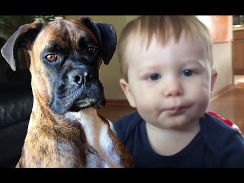 Brock the Boxer Loves His Baby!!