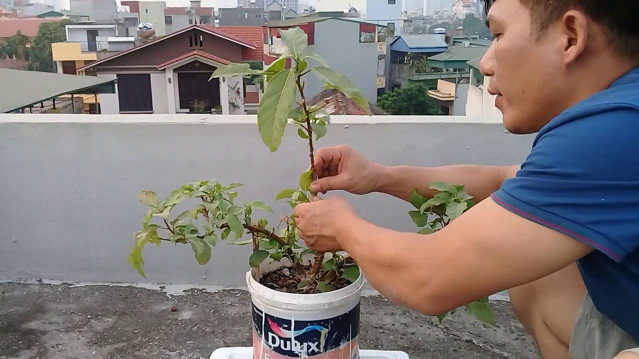 Uốn tạo dáng cây sung p2