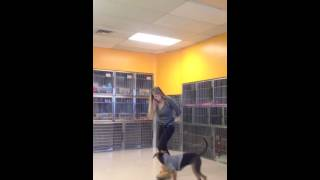 Bella The Beagle Beginning To Off Leash Obedience Training