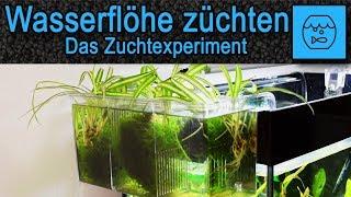 Wasserflöhe züchten - Das Experiment- Lebendfutter selber machen - Aufbau eines Daphnia Zuchtbeckens