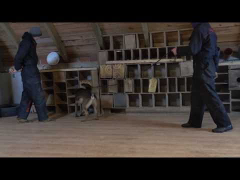 Nicols Belgian Malinois - Detection Inside & outside