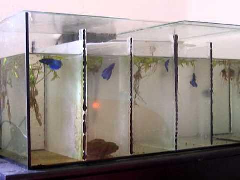 Kampffische unterteiltes 60 r becken youtube for Kampffisch aquarium