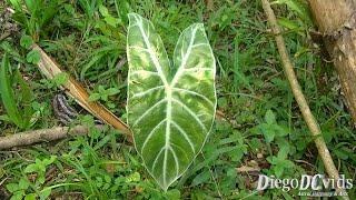 Alocasia Morocco plant (Aroideae - Colocasieae) orelha de elefante