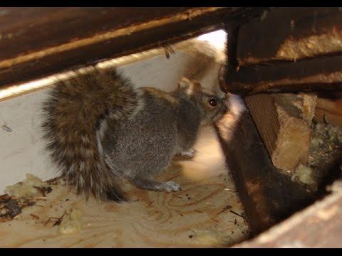 Squirrels playing fighting breeding in my Attic Ways to Get Rid
