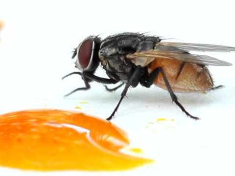 house fly eating.