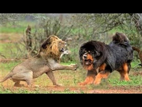 tibetan-mastiff-dog-with-'lion's-blood'