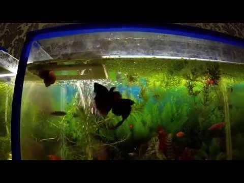Петушки дерутся Аквариумные рыбки Бой Бойцовые рыбки