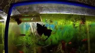 Петушки дерутся Аквариумные рыбки Бой Бойцовые рыбки(, 2014-11-24T20:22:08.000Z)