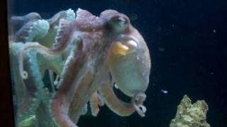 Octapus in my saltwater tank pet
