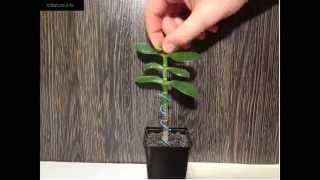 Как фомировать денежное дерево видео(На видео показано каким способом можно начать формировать свою толстянку. Прищипывание делается до тех..., 2014-03-23T09:30:26.000Z)