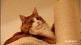 Норвежская лесная кошка - Породы кошек