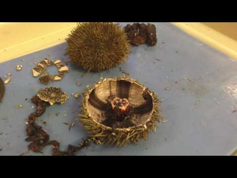 Sea Urchin & Sand Dollar Dissection Part1